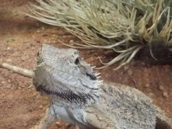 combinations of substrate for bearded dragons
