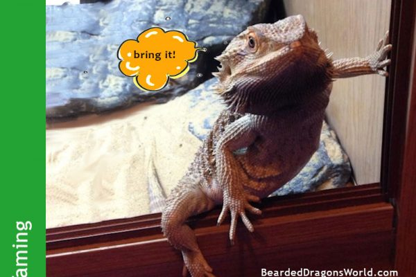 taming bearded dragons