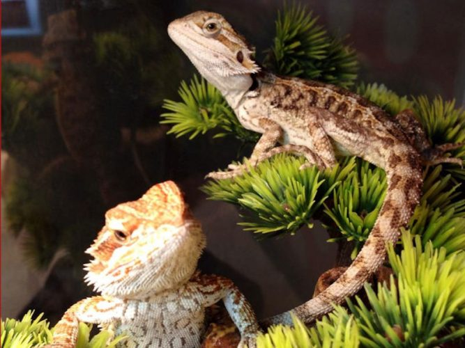 Two bearded dragons live together