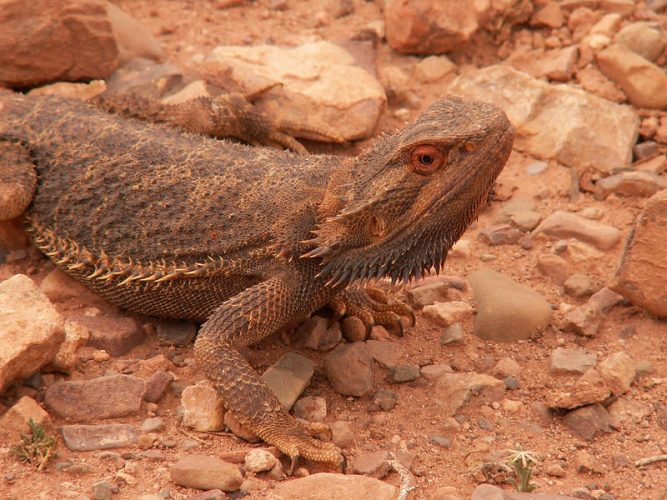 wild bearded dragon South Australia by Haydyn Bromley
