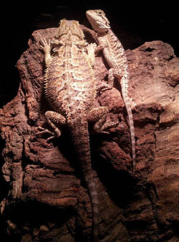 Brought up together from baby bearded dragons to juveniles